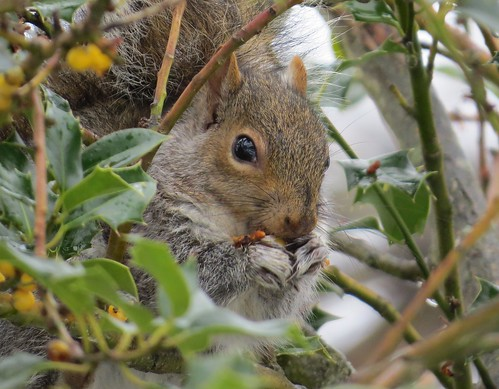 Squirrel Having a Holly Berry