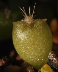 Astrophytum mix - Sämling