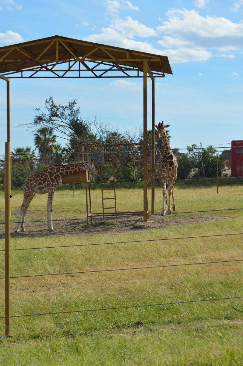 lara-vazquez-madlula-blog-safari-jirafas