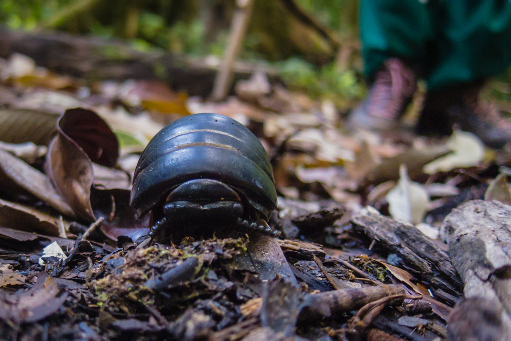 Pill millipede, Danum Valley, Borneo