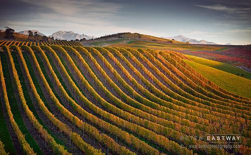 newzealand vineyard