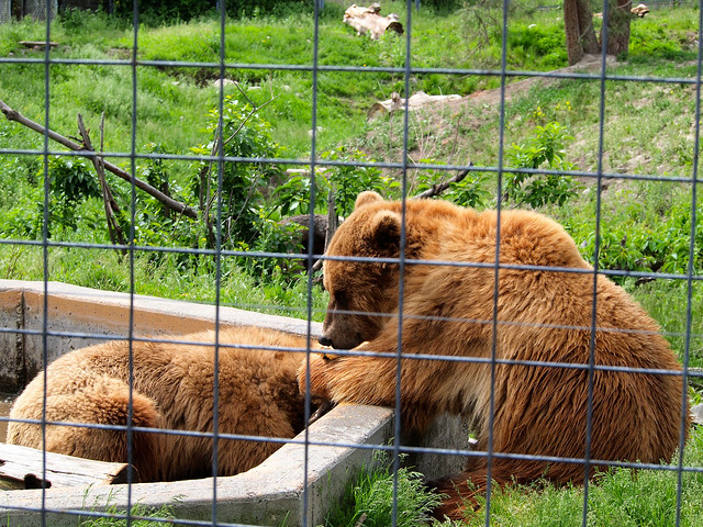 Grizzly bears at BC Wildlife Park in Kamloops