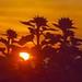 the sun shine through sunflowers P9250995 (2) by hans 1960