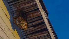 Avispero | Hornet's nest
