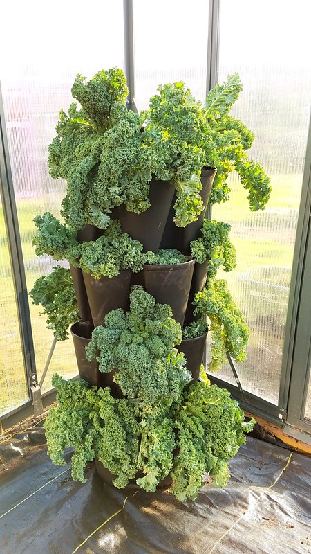 How to move your kale indoors if you're having a extra cold, rough Winter. This will make sure your kale will survive for a extra few months!