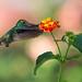 Versicolored Emerald in search of nectar by Thelma Gatuzzo