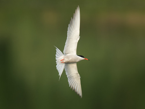 Common tern turn