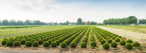 Boxwood nursery in the Netherlands - Buxuskwekerij by RuudMorijn