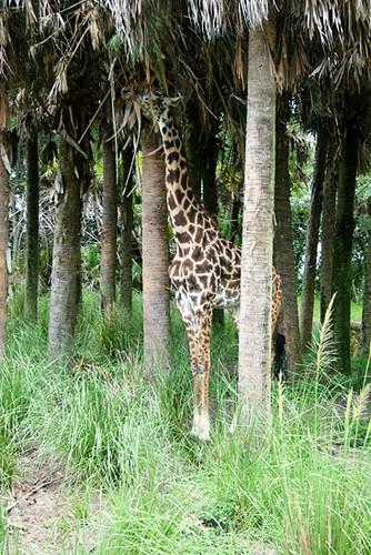 Safari_giraffes