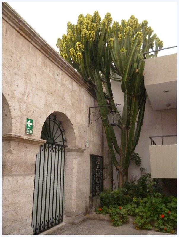 Two-storeyed cactus