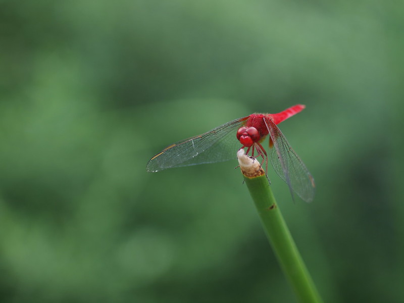 Red Dragonfly, 赤とんぼ