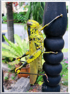 Yellow grasshopper with black blotches and dots (Belalang Kunyit in Malay) - July 17 2013