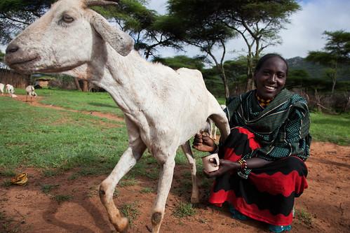 A woman pastoralist milks her goat
