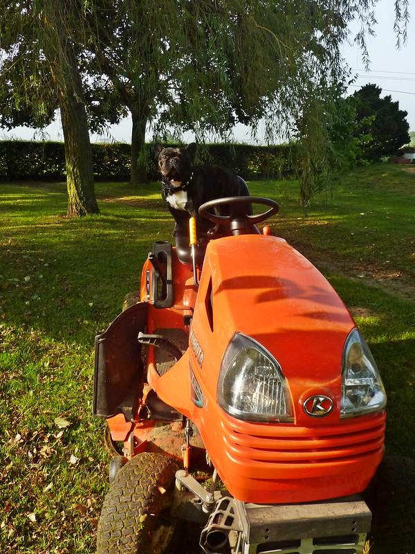 Griffin, bouledogue français, et le tracteur