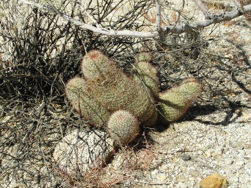 Mammillaria dioica in the desert 10466115513_165fe6fc9b_c