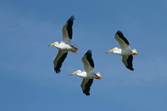Pelican Flight