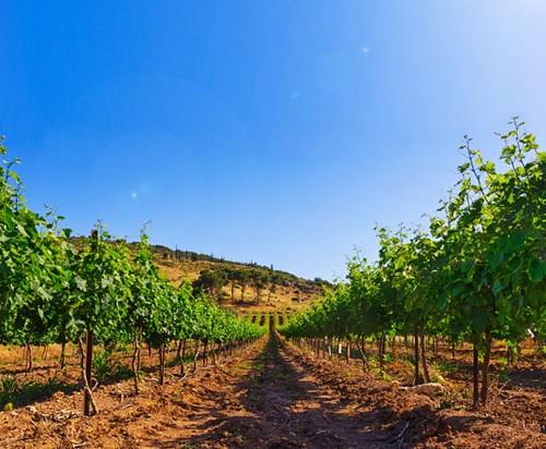 Изменение климата вредит бизнесу виноделов