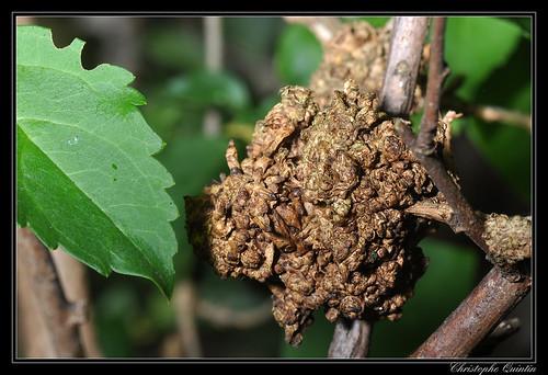 Galle du collet sur Forsythia due à Agrobacterium tumefaciens