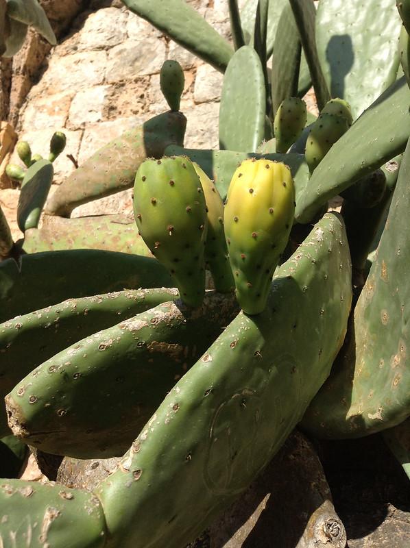Cactus pear on Lokrum Island