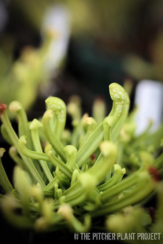 Sarracenia wrigleyana AF