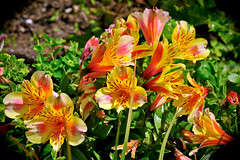 lilium bulbiferum(0.0), lily(1.0), flower(1.0), plant(1.0), flora(1.0), floristry(1.0), peruvian lily(1.0), daylily(1.0),