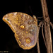 Giant Owl Butterfly (Catoblepia xanthicles), Tiputini River, Yasuni National Park, Ecuador by kmalone98