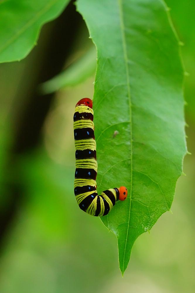 綠弄蝶屬綠弄蝶01