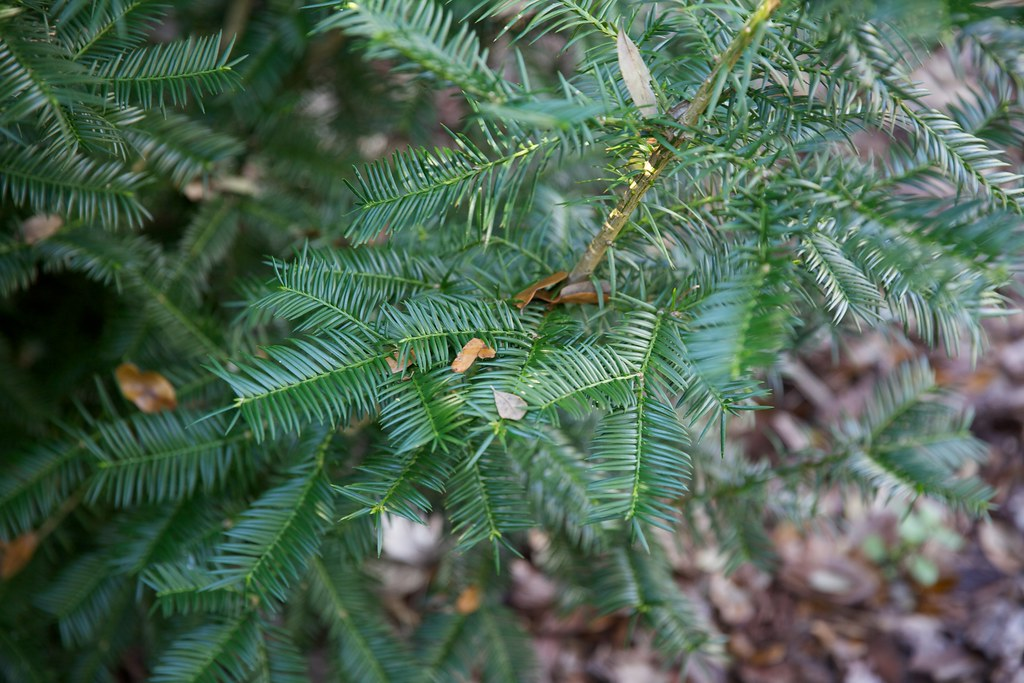 photo of Florida torreya