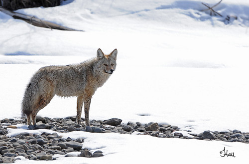 Coyote on riverbank - 2841b