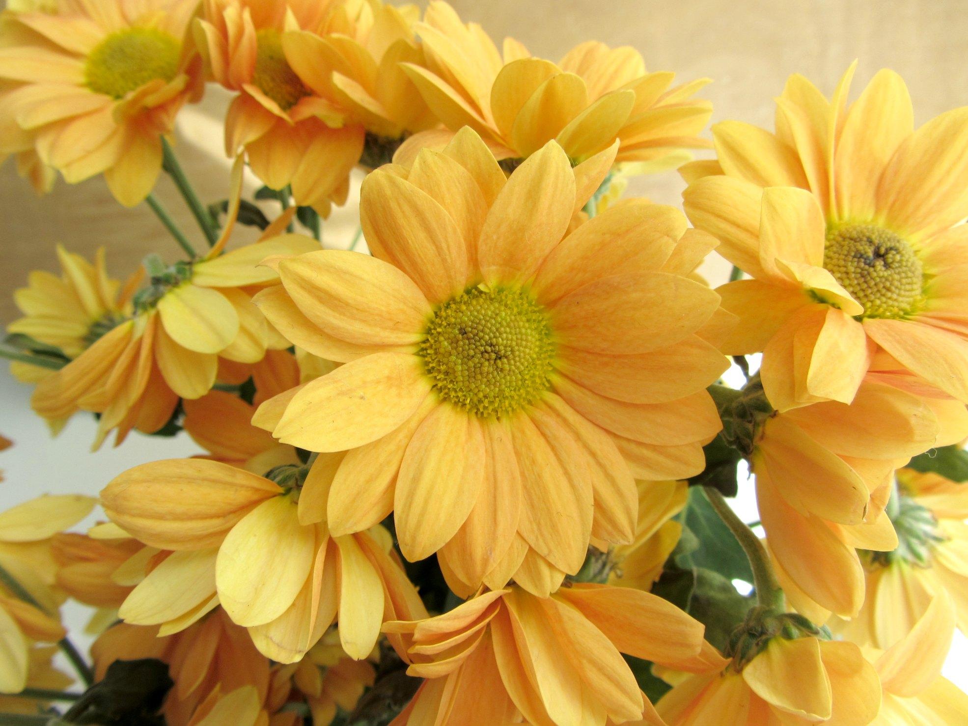 Margaridas laranja
