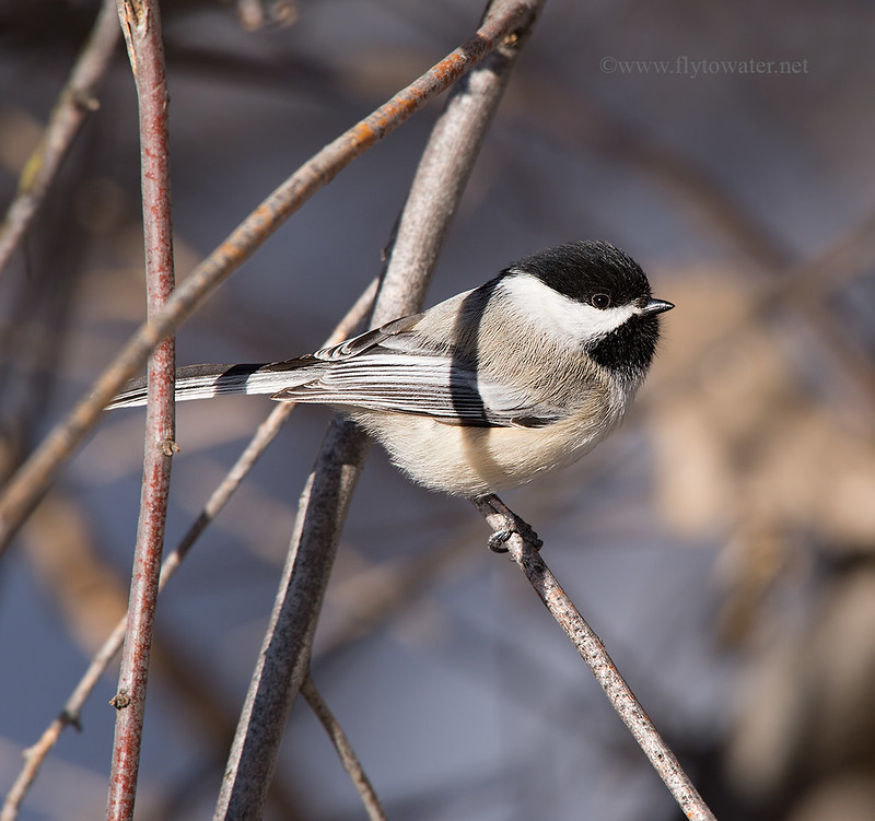 Black-Capped Chickadee - Side View