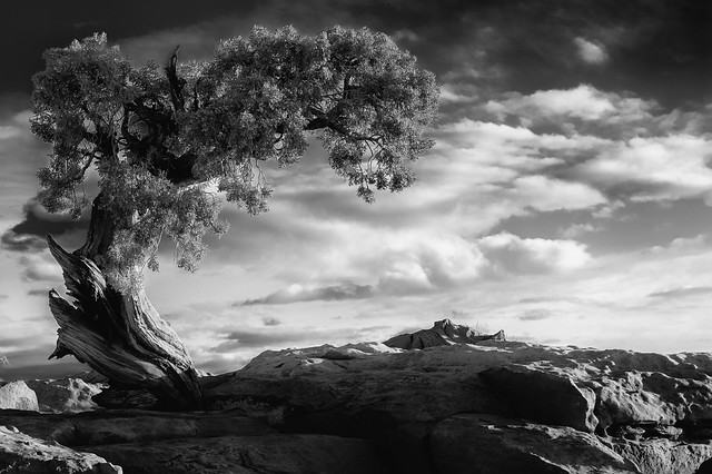 Dead Horse Point Tree (32-bit HDR B&W)