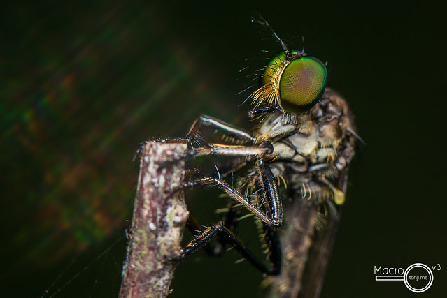 Robberfly 2 (upclosed)