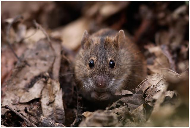 Striped field mouse, Brandmaus, Apodemus agrarius @ Berlin Dahlem Urban Nature