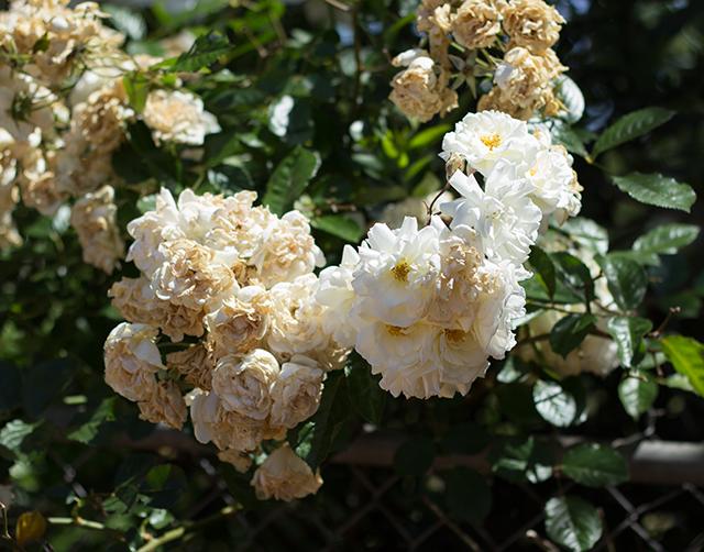 white roses in spring sunlight