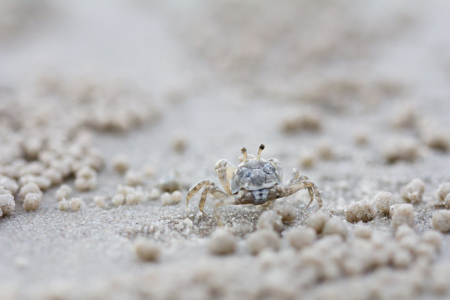 sand bubbler crab
