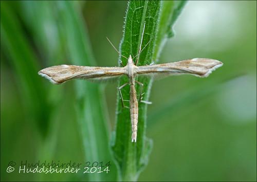 Plume Moth Stenoptilia zophodactylus??