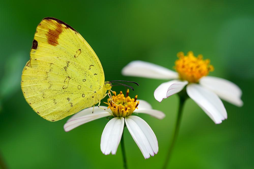 黃蝶屬亮色黃蝶14S101
