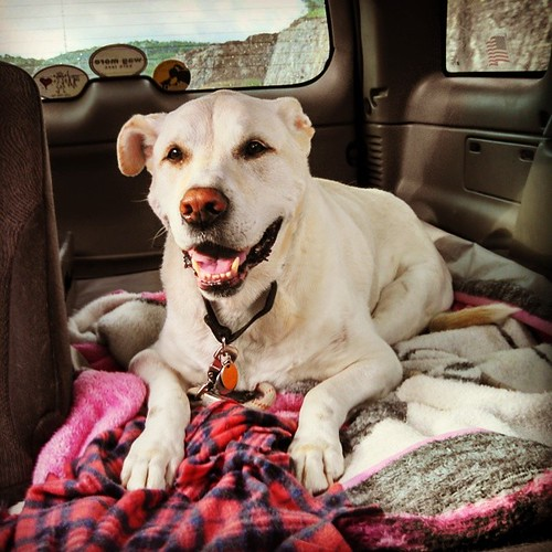 Happy dog! In his way to see his favorite vet... #dogstagram #instadog #seniordog #happydog #carride #love #smile #ilovemyseniordog