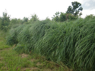 Picture of Switchgrass