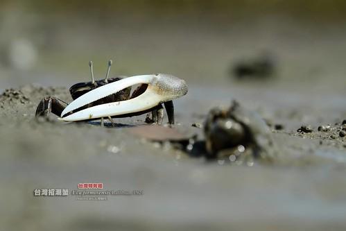 台灣招潮蟹:在警戒性的排行榜居首,他們有著誇張比例的剪刀大螯攝影:大型阿生。