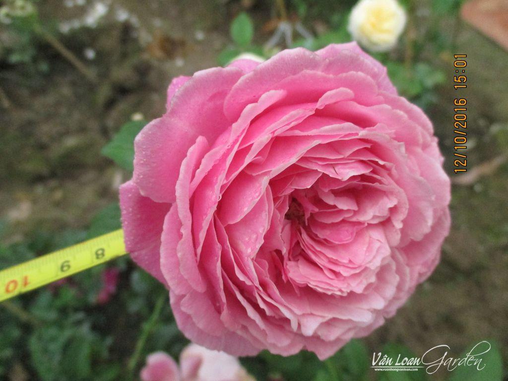 Soeur Emmanuelle Rose