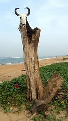 Tree top Bull