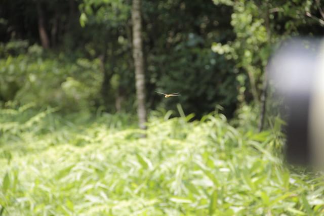近くを飛んでいたウスバキトンボ.