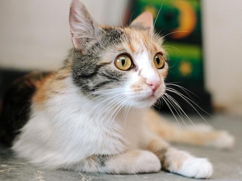 Jaspe, maravillosa tricolor de ojos cobrizos esterilizada nacida en Abril´11, necesita adopción. Valencia. ADOPTADA.  9140578519_b0d7be1978