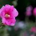"""Small photo of Hollyhock """"Althaea rosea"""""""