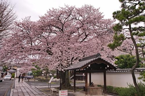【写真】2013 桜 : 本隆寺/2020-05-19/IMGP9111