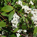 Small photo of Ageratina riparia, known as Spreading Snakeroot.