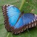 Blue Morpho Butterfly by wwarby
