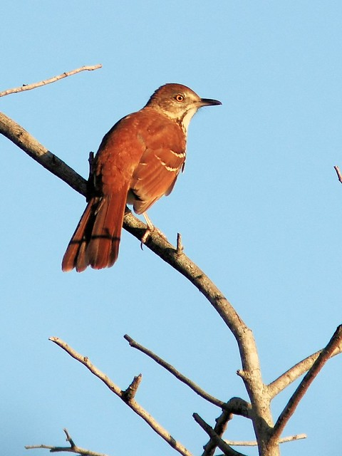 Brown Thrasher 20130919